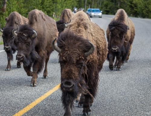 Tag 18 – Es wird stinkend und tierisch im Yellowstone